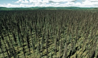 Forest devastated by pine bark beetle
