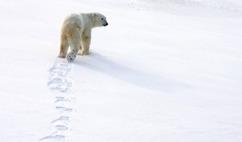climate change education and polar bears